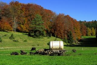 Albbueffel auf der Schwaebischen Alb