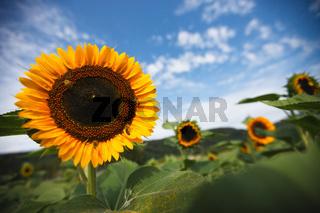 Sonnenblume mit Insekten