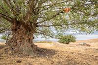 A big old poplar tree with an impressive trunk