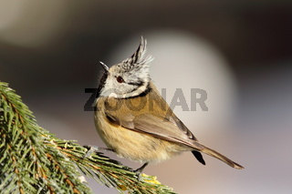 european crested tit sitting on spruce branch ( Lophophanes cristatus )