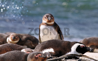 Brillenpinguin, Stony Point, Südafrika, African penguin, South Africa