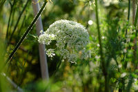 carrot flower to reserve the seeds