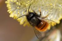 Gehoernte Mauerbiene am Weidenkaetzchen