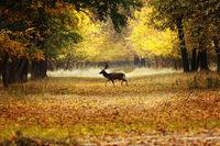 fallow deer buck passing rural road in the woods ( Dama )