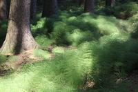 Waldschachtelhalm