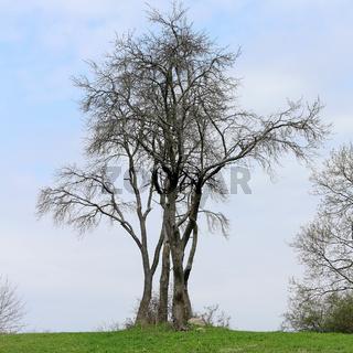 Baum auf einem Hügel im Vorfrühling