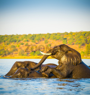 Elephant Herd Crossing Chobe River