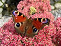 Tagpfauenauge (Aglais io) auf einer Sedum Blüte