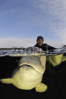 Delphinapterus leucas, Beluga Wal