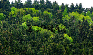 Healthy green trees in a forest of old spruc