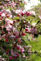 rosa Apfelblüte