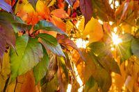 Sonnenstrahlen scheinen durch herbstlich gefärbte Laubblätter