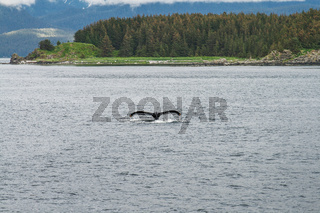 Humpback Whale Diving in front of the Trees in Alaska