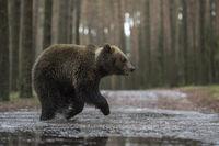 kalte Füße... Europäischer Braunbär *Ursus arctos*