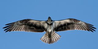 Osprey in Flight XX