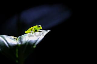 Glasfrosch im Rampenlicht