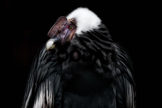 Anden Condor with a black background