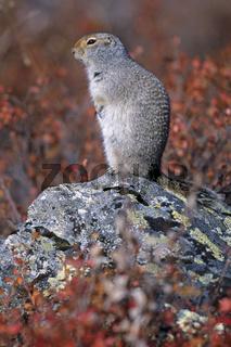 Arktischer Ziesel zieht sich im Herbst in den Bau zurueck und haelt Winterschlaf  -  (Arktisches Erdhoernchen - Foto Alttier) / Urocitellus parryii