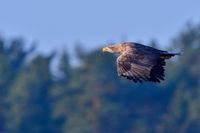 Seeadler im Flug