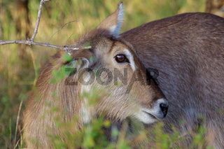 A waterbuck in the Kruger National Park South Africa
