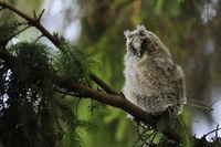 aufgeregt... Waldohreulenästling * Asio otus * im Schlafbaum