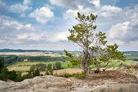 Baum auf der Teufelsmauer im Harz