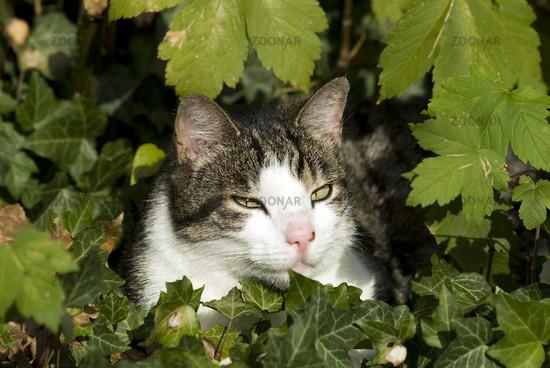 Katze,Hauskatze