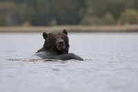 abgelenkt... Europäischer Braunbär *Ursus arctos*