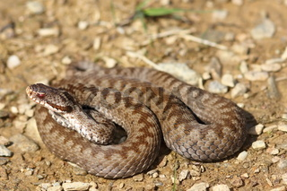 female common crossed adder on ground ( Vipera berus