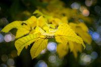 Zweig Laubfärbung im Herbst