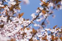 Kirschpflaume, Blutpflaume (Prunus cerasifera 'Nigra') Blüten