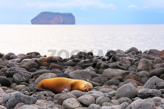 Galapagos sea lion on rocky shore of North Seymour Island, Galapagos National Park, Ecuador