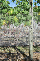 Bird netting protects grapes.