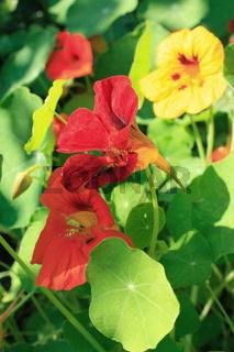 rote Blüten, Kapuzinerkresse