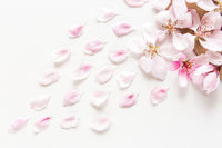 close up top view of light and soft sakura petals on white background. Concept of love. feeling of spring. Flat lay.