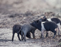 Wild piglets in Florida wetlands
