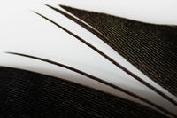 Macro black feather magpies with multi-colored overflows on a white background.