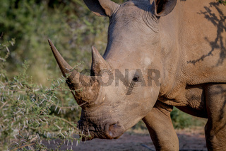 Side profile of a White rhino.