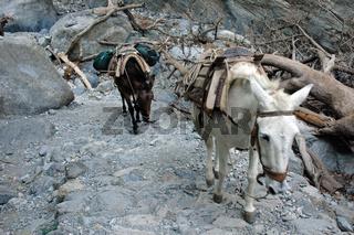 Esel in der Samaria-Schlucht