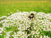 Bombus terrestris with mite infestation