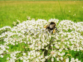 Bombus terrestris with mite infestation