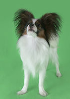Beautiful young male dog Continental Toy Spaniel Papillon on green background