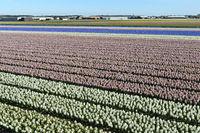 Anbau von Hyazinthen zur Produktion von Blumenzwiebeln, Bollenstreek,Noordwijkerhout, Niederlande