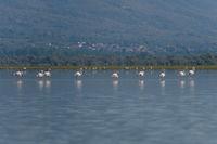 Rosaflamingo, Phoenicopterus roseus, Greater Flamingo Kerkini Lake