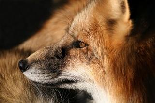 Seitenansicht des Rotfuchses