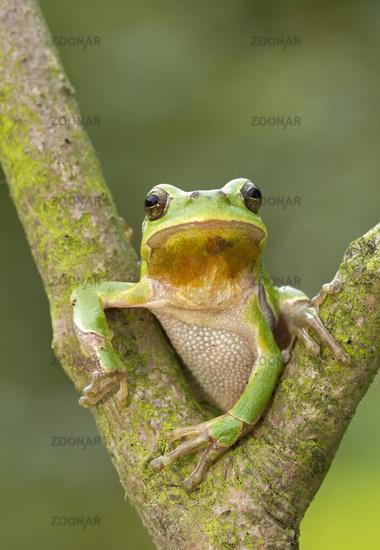 Laubfrosch sitzt in einer Astgabel (Hyla arborea)