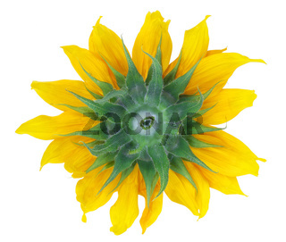 Backside of sunflower isolated