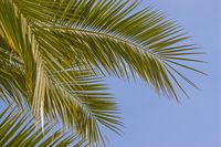 Palme - Pflanze und Sinnbild für tropische Gebiete