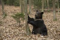 uuups... Europäischer Braunbär *Ursus arctos*