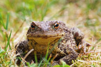 closeup of common brown toad standing in the grass ( Bufo )